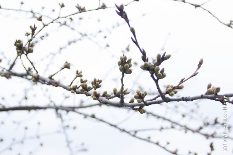Still waiting for the Spring: Buds of the blossoms
